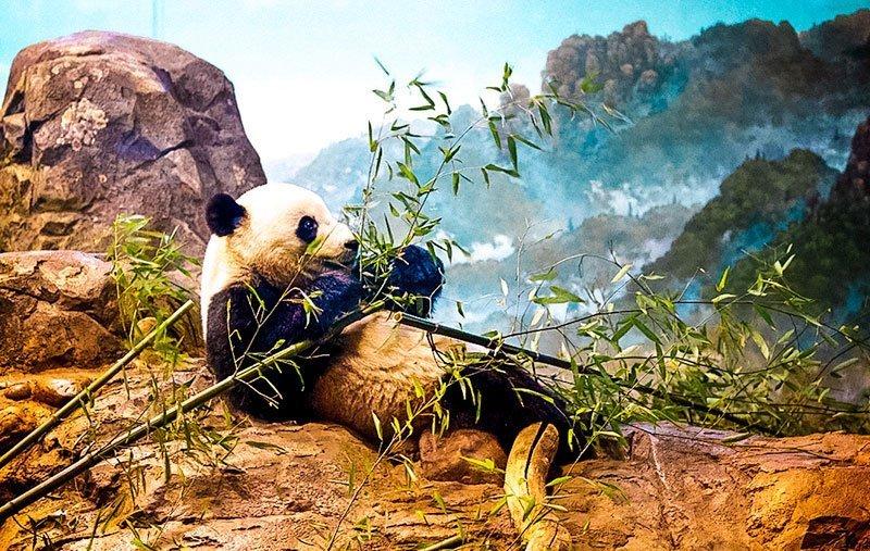 Washington-DC-Smithsonian-National-Zoo--Pandas