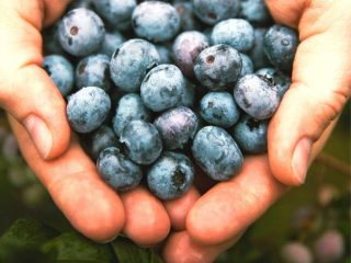blueberry season