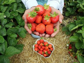 Strawberry Picking Near Me