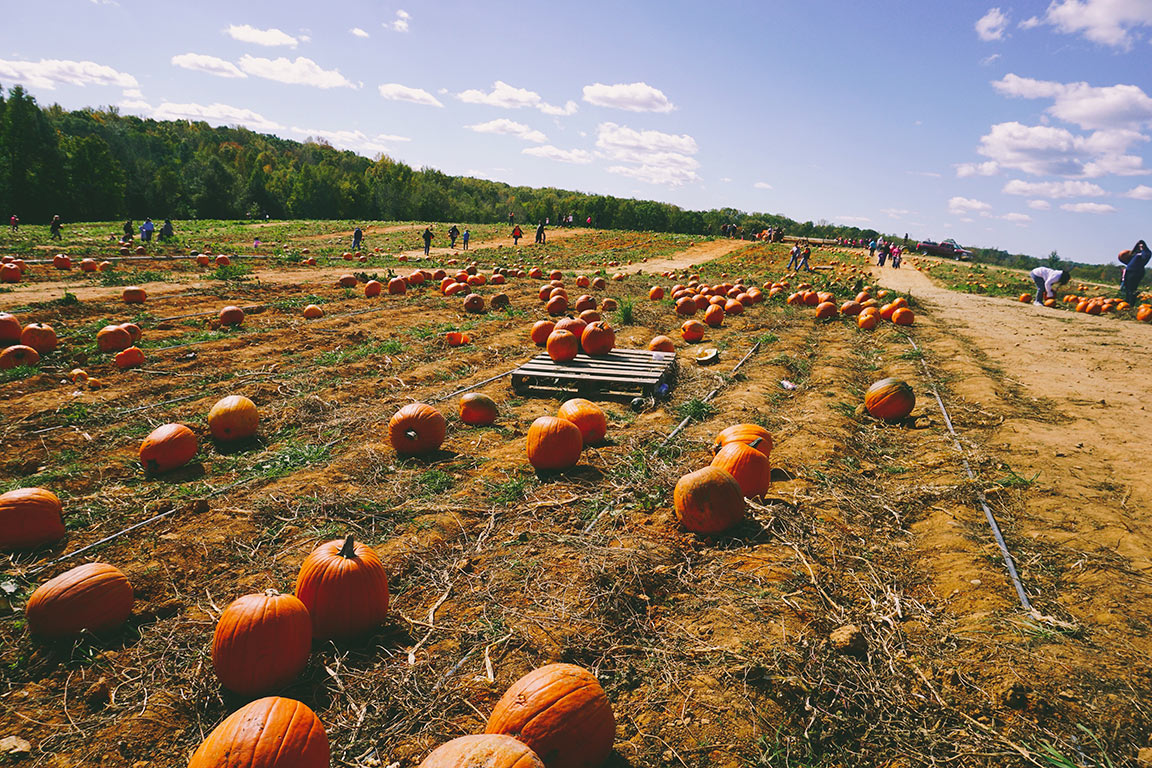 Pumpkin Patches in Virginia