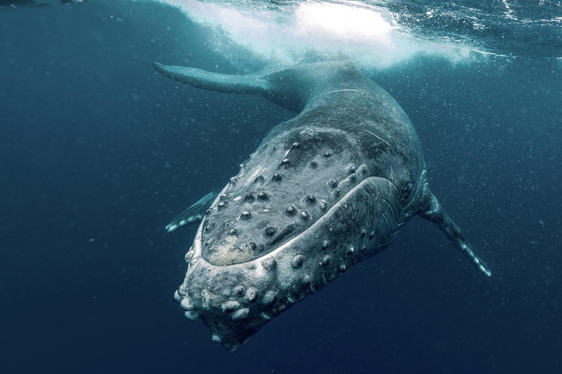 Virginia Beach Whale Watching- humpback whale