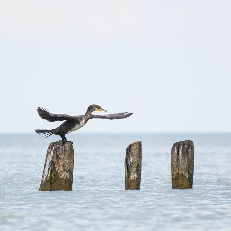 Virginia Beach Virginia - Cormorant