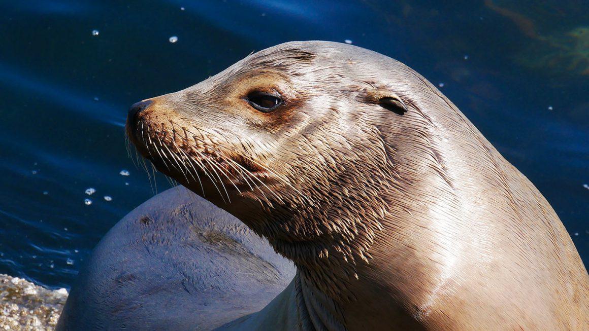 Virginia Beach Virginia- harbor seal