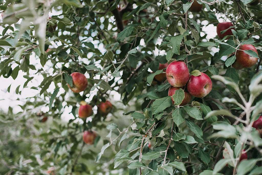 Apples Gettysburg PA
