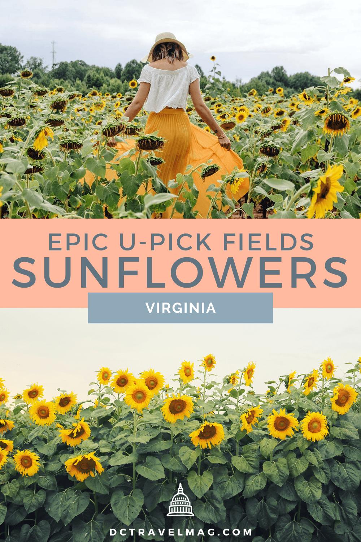 Sunflower Fields In Virginia For U-Pick Flowers