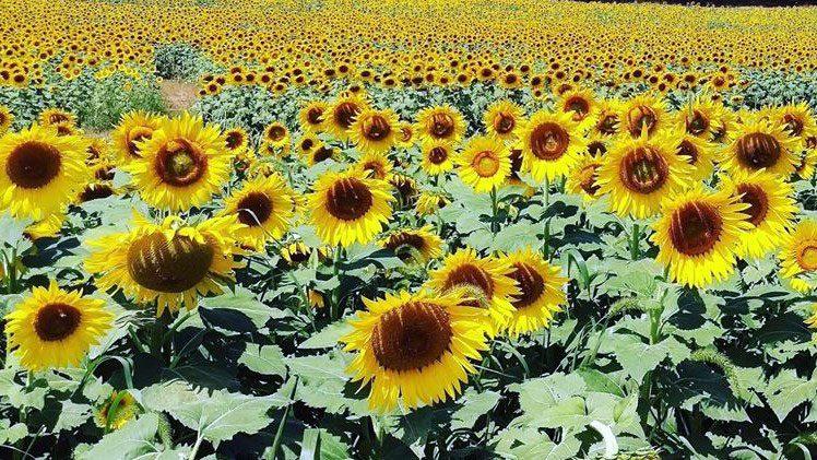 Burnside Farms - Sunflower Fields In Virginia