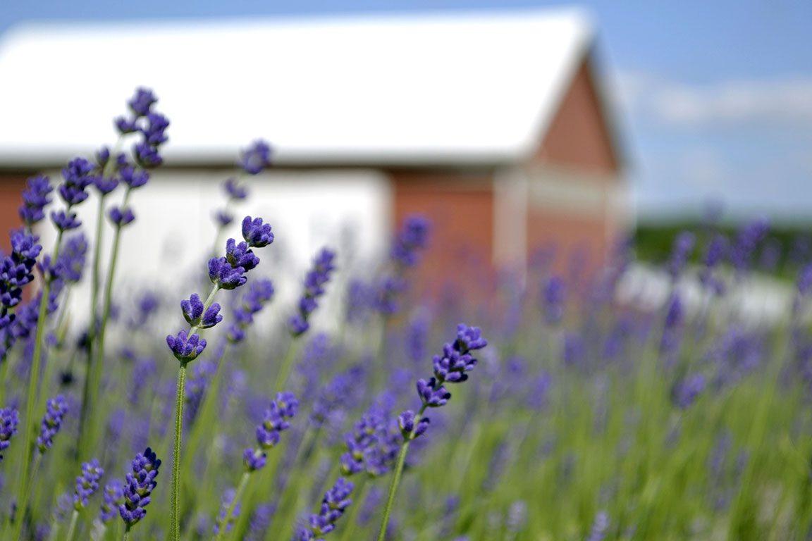 Pick Your Own Lavender Farms In VA