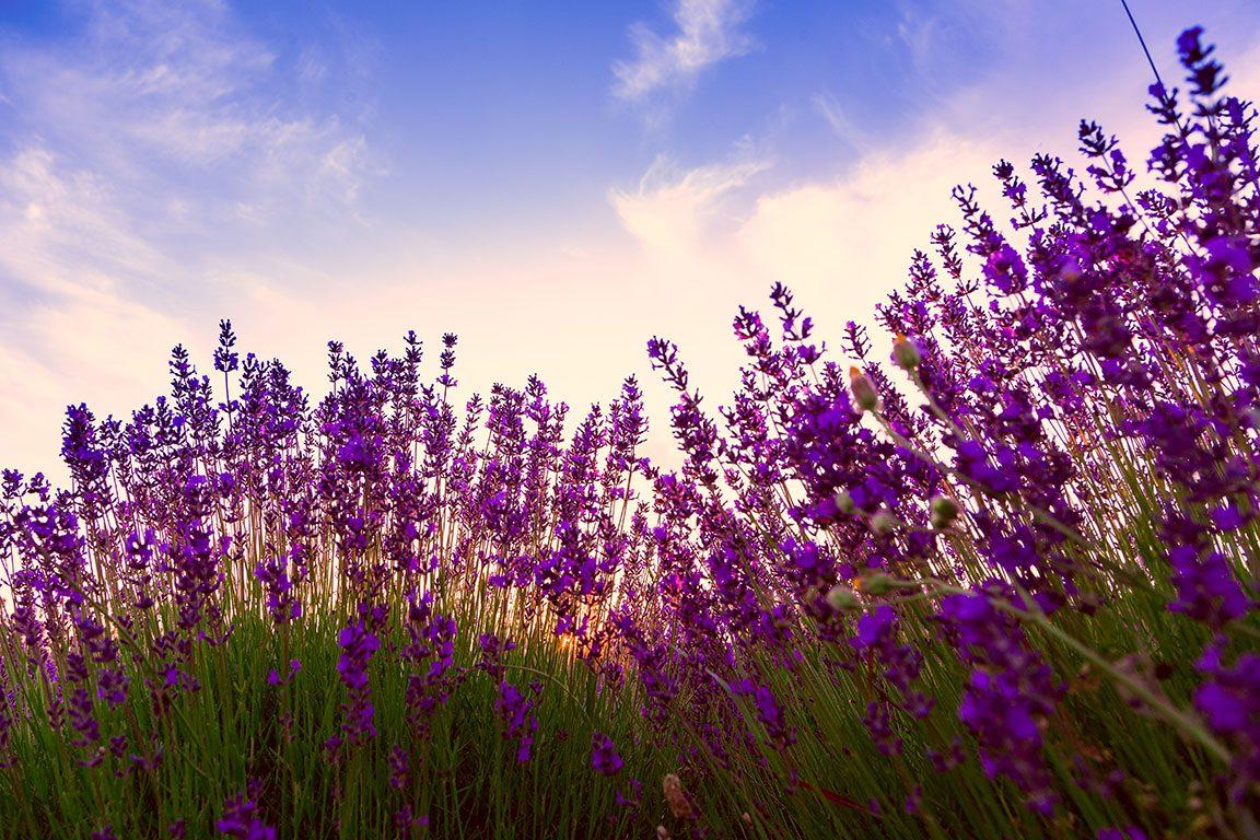 Lavender Farms Near Me