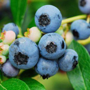 Blueberry Picking in Virginia