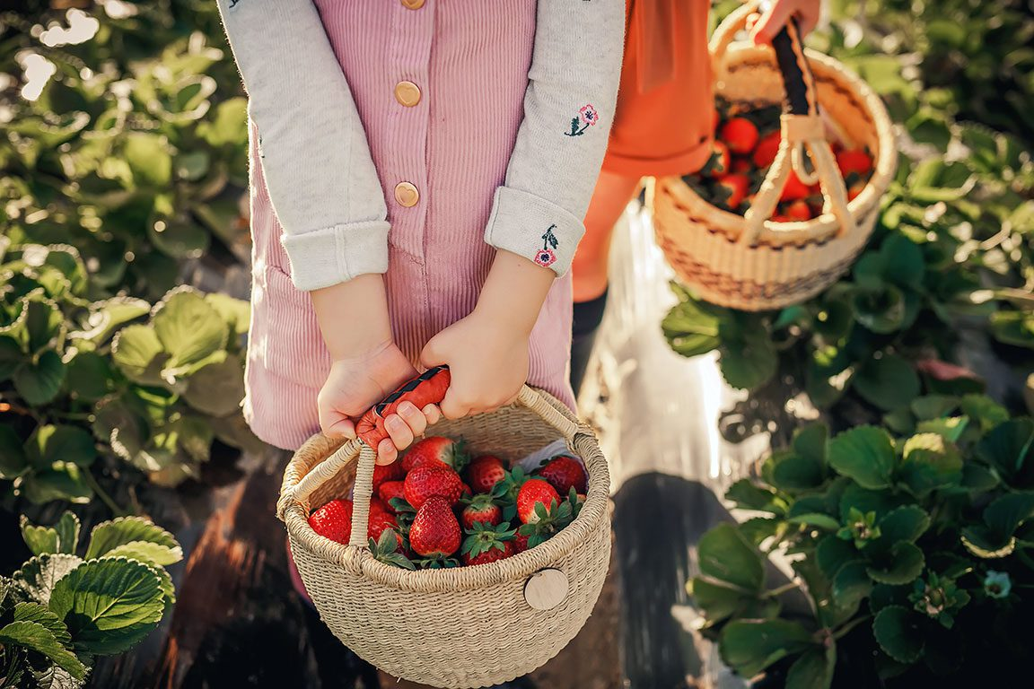 Strawberry Picking in Virginia