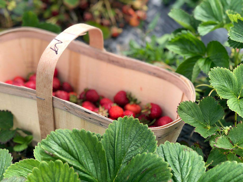 Strawberry Picking in Virginia
