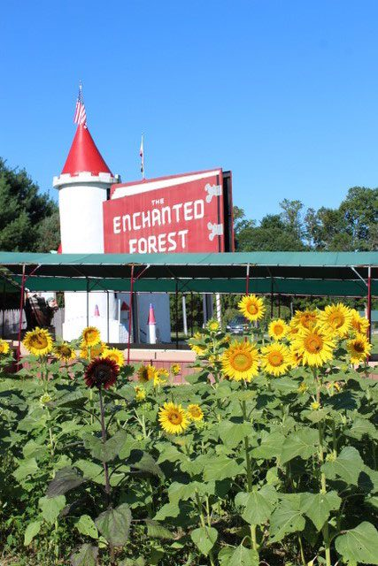 Sunflowers in Frederick Maryland- Clark's Elioak Farm