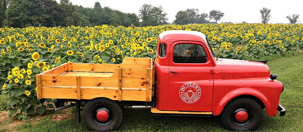Butlers Orchard Sunflowers - Germantown MD - Sunflower farms in Maryland