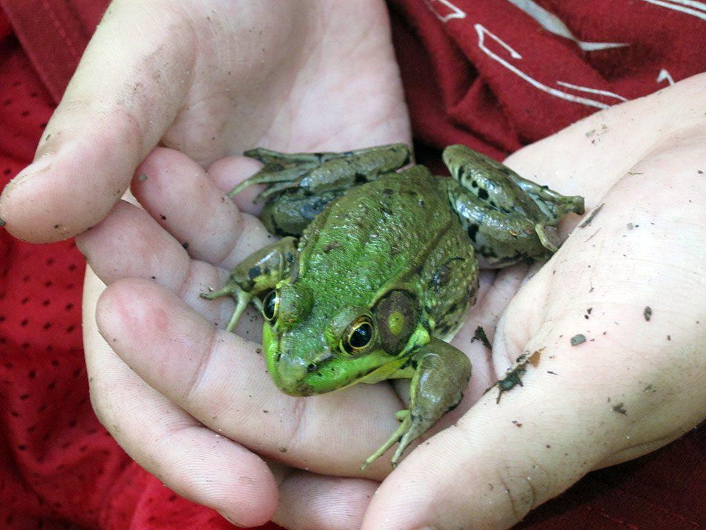 Maryland Parks - frog at Jug Bay Wetlands Sanctuary