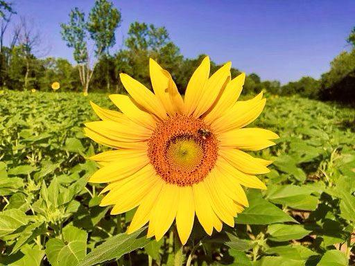 Sunflowers in Maryland- McKee Beshers Wildlife Management Area