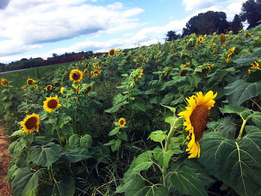 Sunflower Fields in Maryland - Misty Meadow Farm Creamery