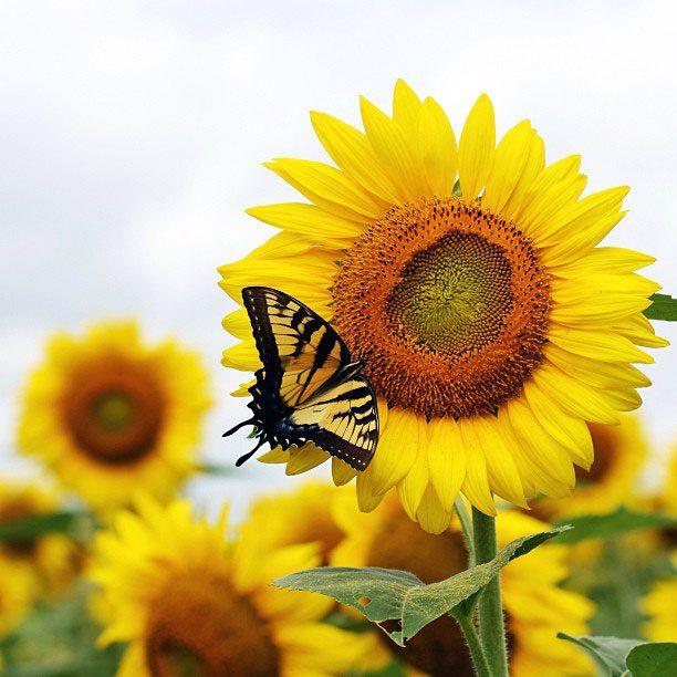 Sunflower Fields in Maryland