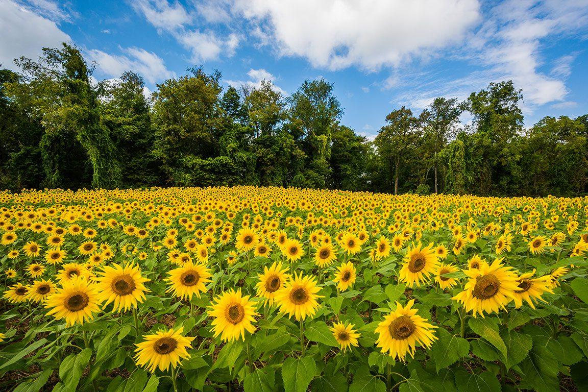 Sunflower Fields in Maryland- Clear Meadow Farm