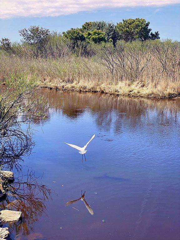 Chincoteague National Wildlife Refuge Wildlife - egret in flight