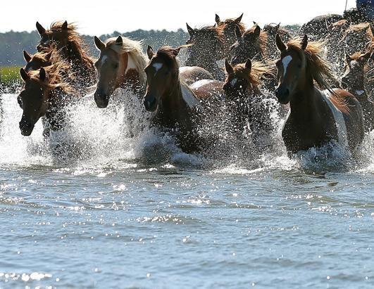 Chincoteague Virginia Pony Swim