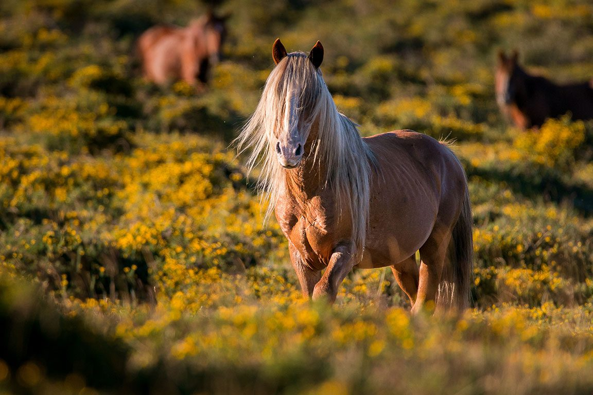 Chincoteague Island Ponies- Chincoteague National Wildlife Refuge Wildlife
