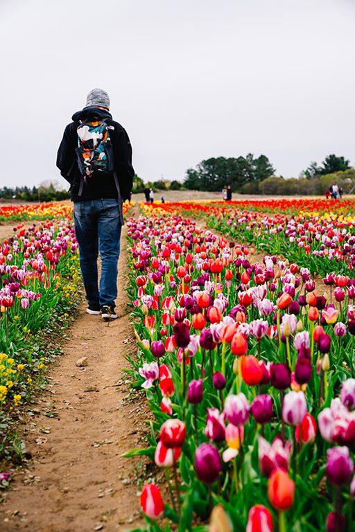 Tulips picking near me - Burnside Farms Nokesville VA - Virginia