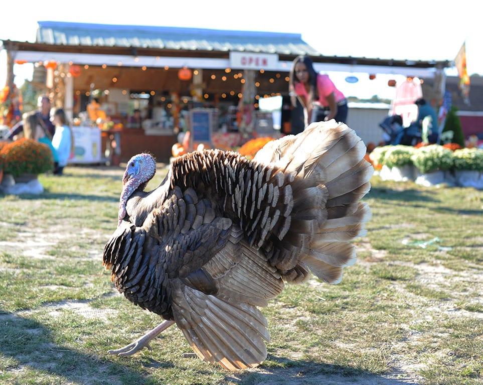 Turkey at the Hickory Ridge Farm